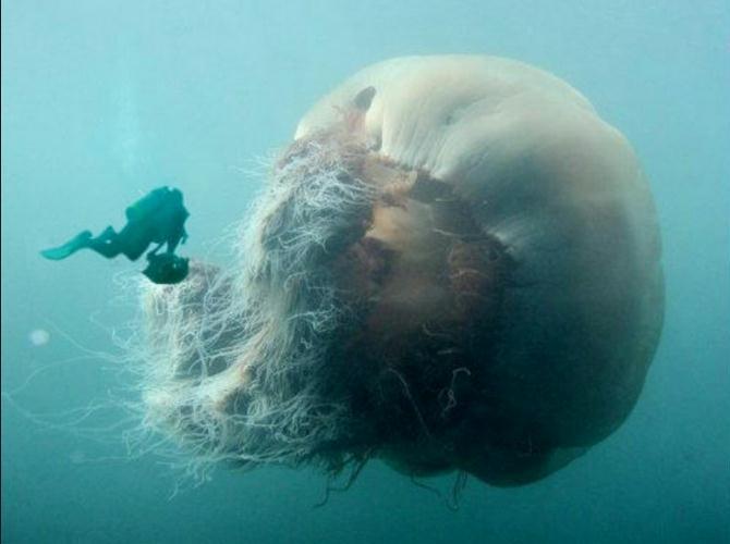 jellyfish-cyanea-arctica